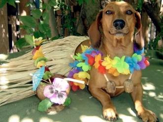 Hawaiian dog