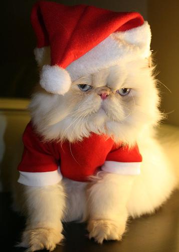 cat in a santahat