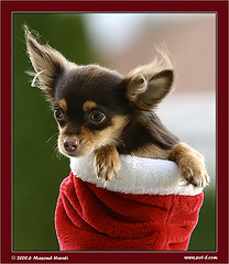 puppy in christmas stocking