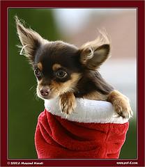 puppy in christmasstocking
